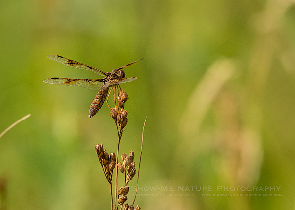 Female Eastern Amberwings dragonfly