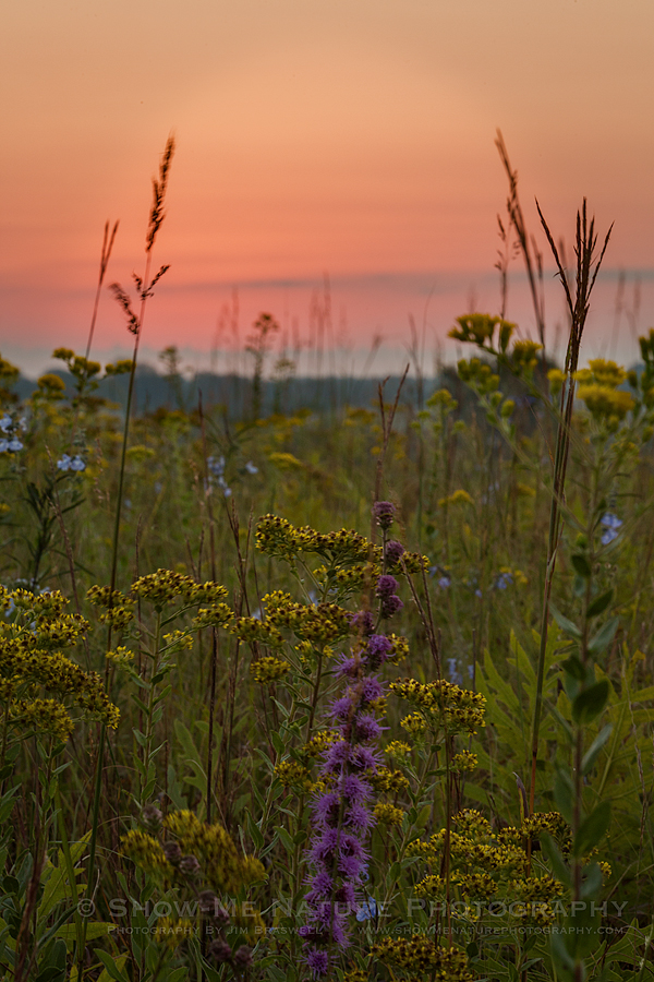 Rough Blazing Star wildflowers