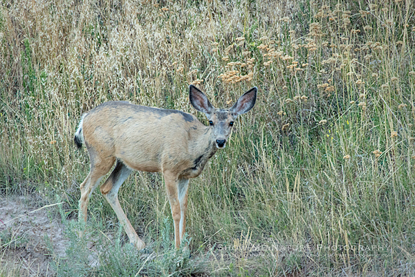 Mule Deer grazing in the Badlands NP