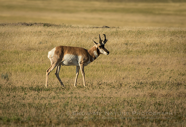 Pronghorn Antelope grazing on the prairie