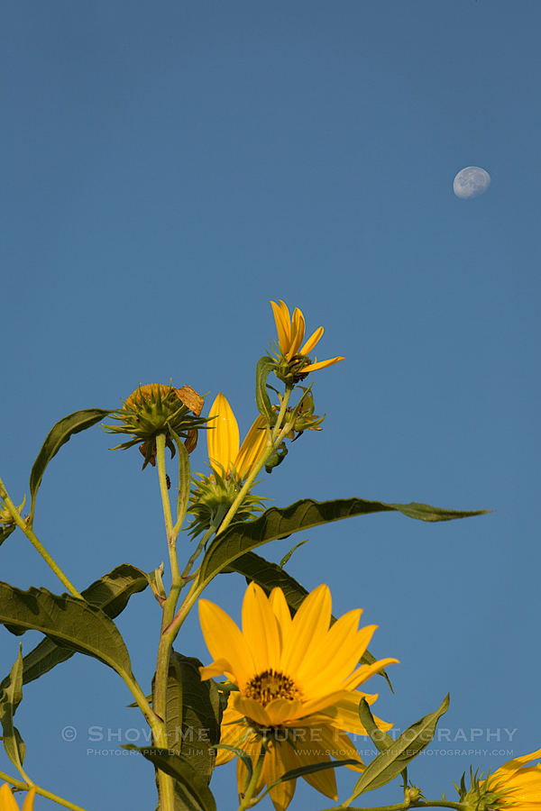 Helianthus Sunflowers and the moon