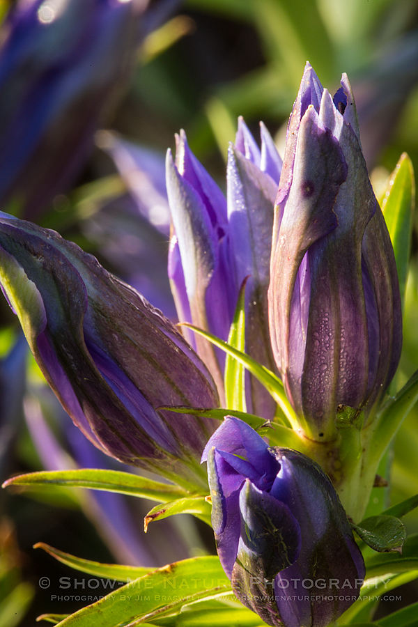 Downy Gentian wildflower