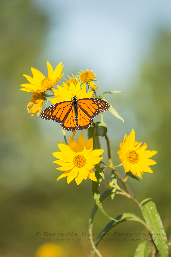 Monarch butterfly on Sawtooth Sunflower