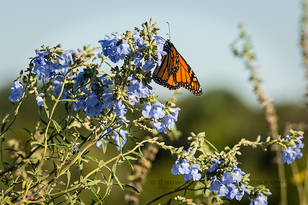 Monarch butterfly on Blue Sage