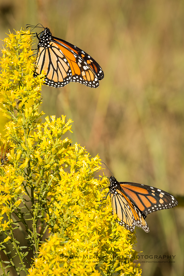 Monarch butterflies on Showy Goldenrod