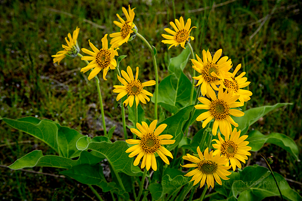 Balsamroot wildflowers