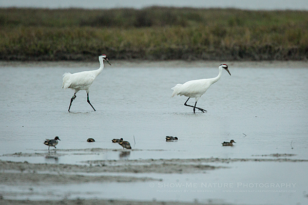 Pair of adult Whooping Cranes