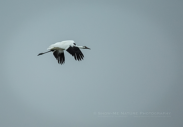 An adult whooping crane flying over the refuge waters