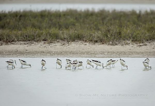 American Avocets foraging