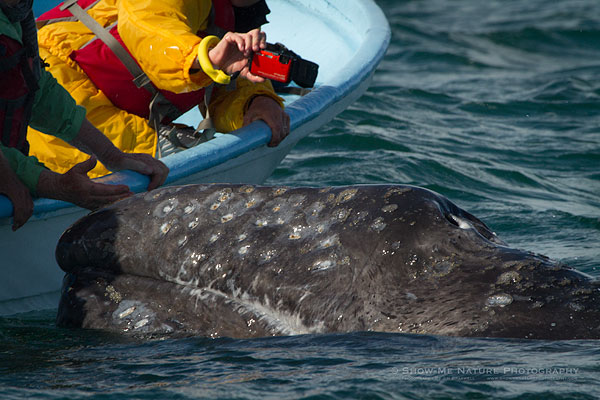 Touching the friendly Gray Whales
