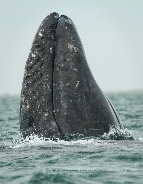 Gray Whale spyhopping