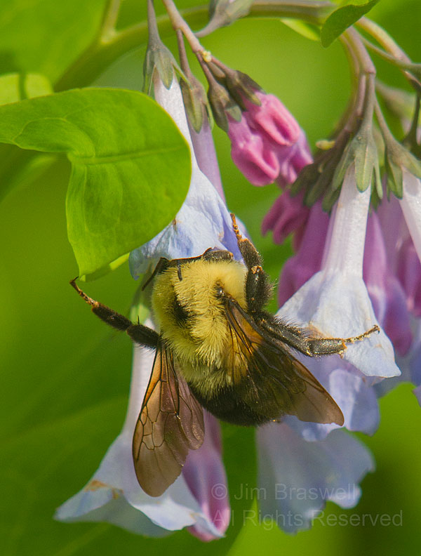 Bumble Bee with his head inside a Bluebell wildflower