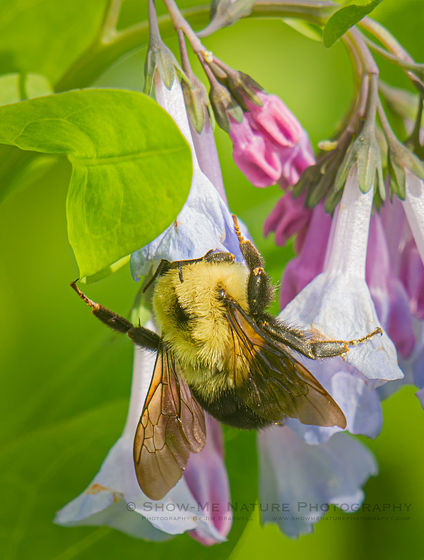 Bumblebee collects nectar from Bluebell wildflower