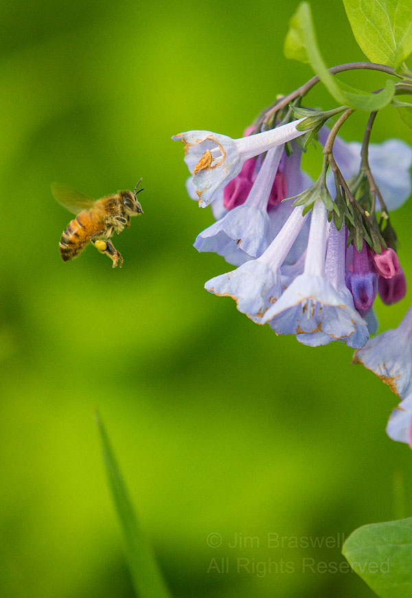 Honey Bee looking over the Bluebell blooms
