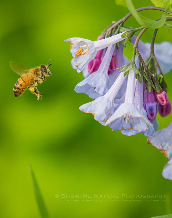 Honey Bee approaching Bluebell wildflowers