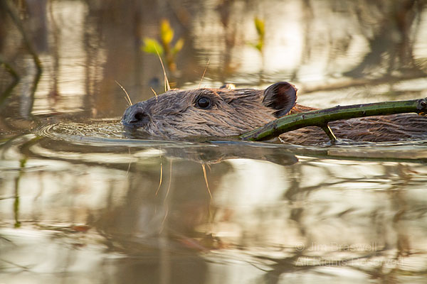 Juvenile American Beaver carrying a tree sprout back to the lodge