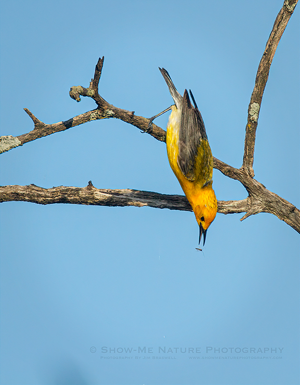 Prothonotary Warbler male, about to grab an insect
