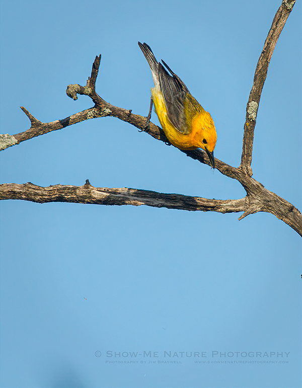 Prothonotary Warbler male with an insect