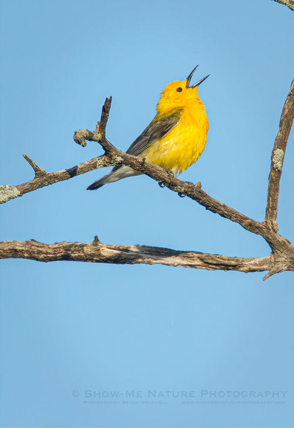 Prothonotary Warbler male sings with joy after feeding on an insect