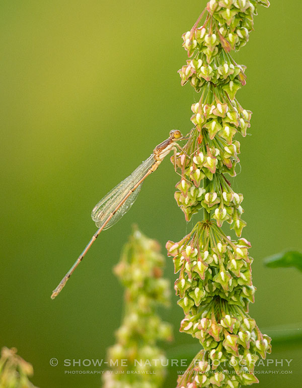 Damselfly clinging to an aquatic plant