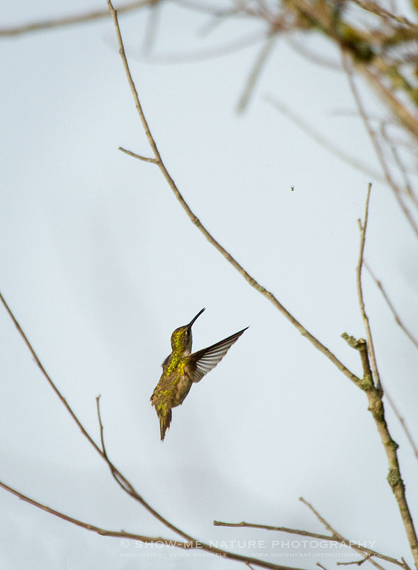 Female Ruby-throated Hummingbird stalking an insect