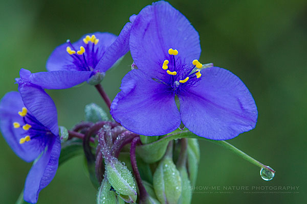Spiderwort with dew