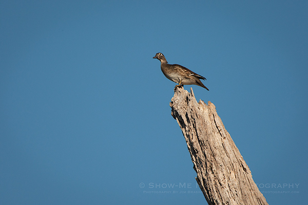 Wood Duck hen sitting at the top of a dead tree