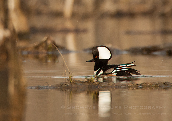 Hooded Merganser drake