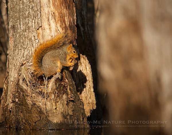 Squirrel snacking on a tree trunk in the water