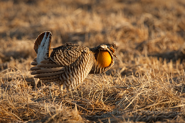 Greater Prairie Chicken male