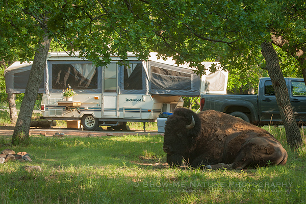 American Bison outside my camper