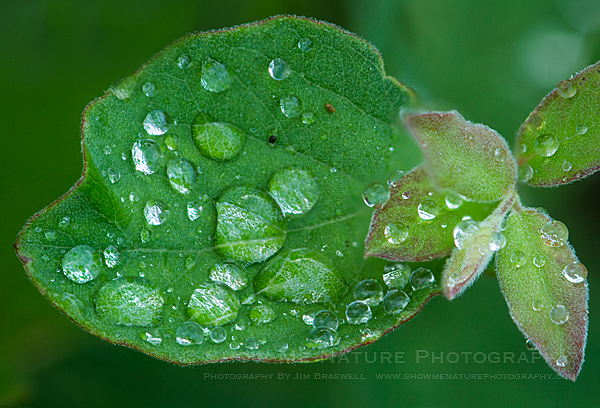 Dew on a Praire Plant Leaf