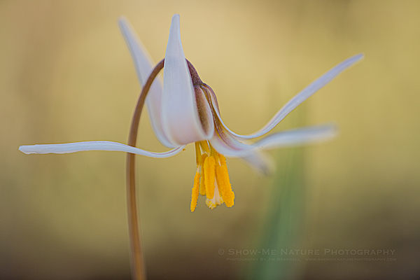 Trout Lily (aka, Dog-tooth Violet) wildflower
