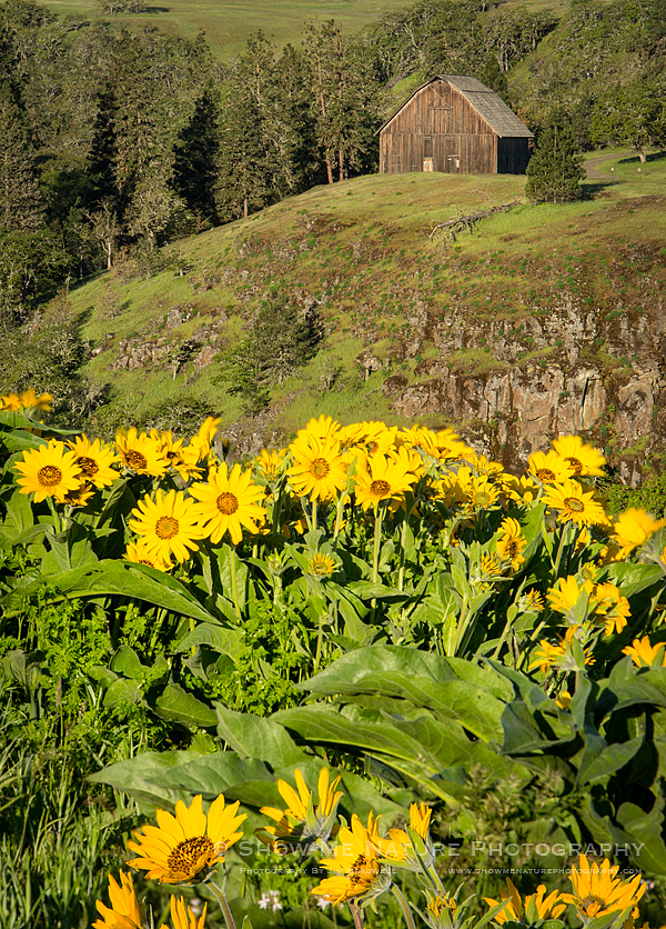 Balsamroot wildflowers and wooden barn in background - telephoto lens
