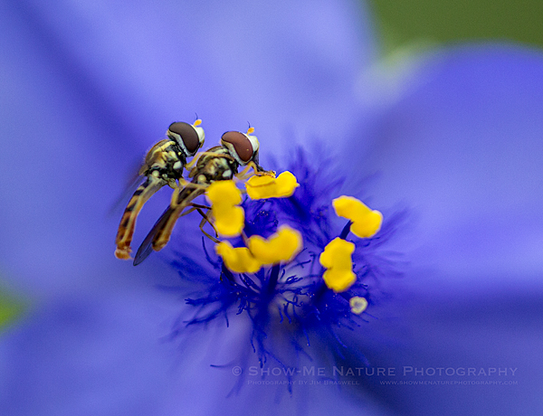 Hover Flies on a Spiderwort wildflower