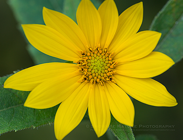 Jerusalem Artichoke wildflower