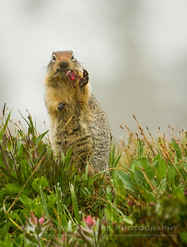 Columbian Ground Squirrel chewing on Indian Paintbrush wildflowers