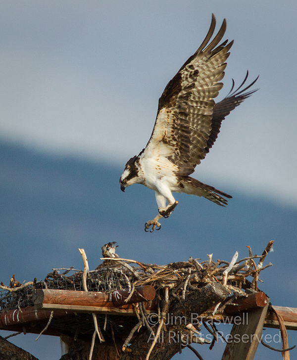 Osprey with stick for the nest