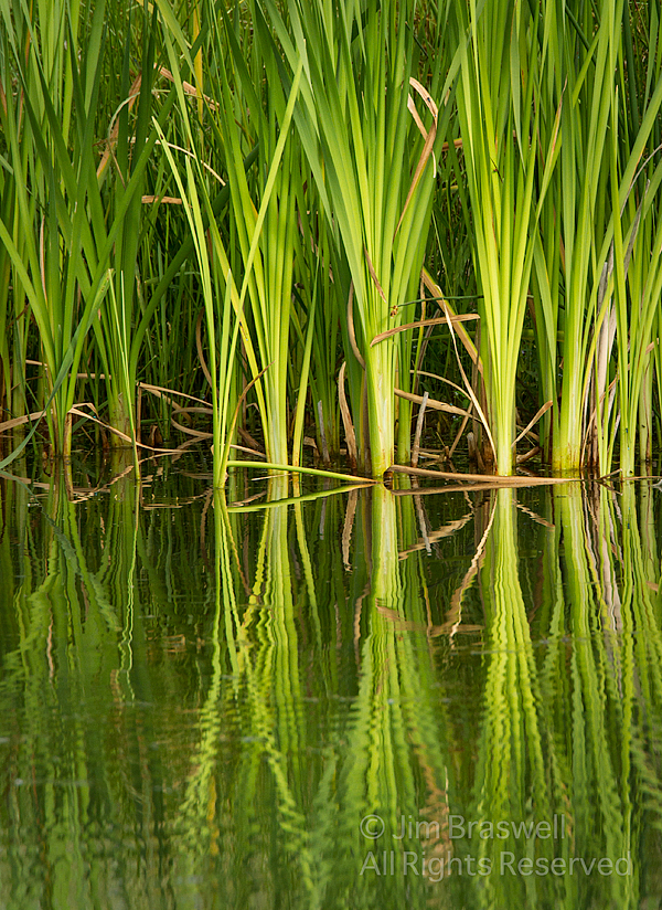 Reflections of Cattails