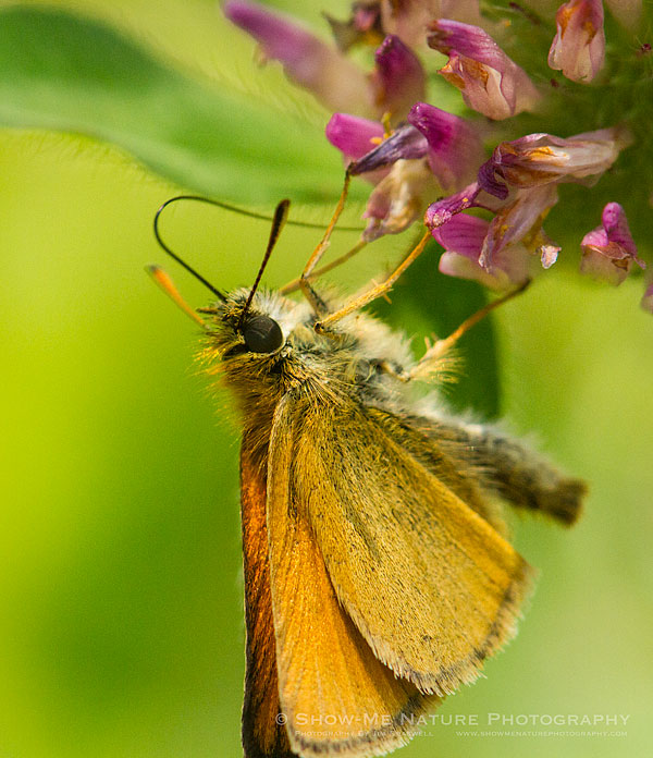 A Copper spp. Butterfly collecting nectar from a wildflower bloom