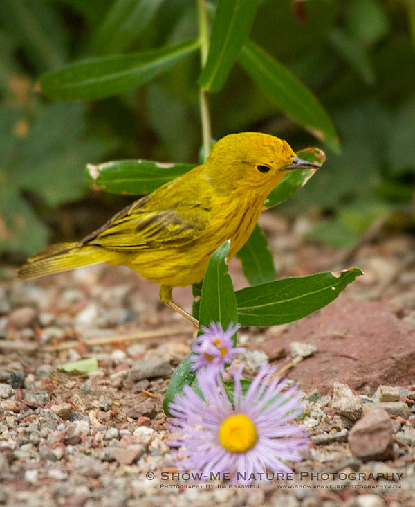 Yellow Warbler adult