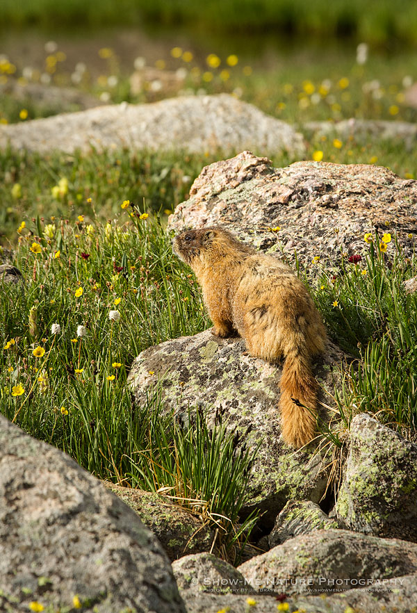 Yellow-bellied Marmot in wildflowers