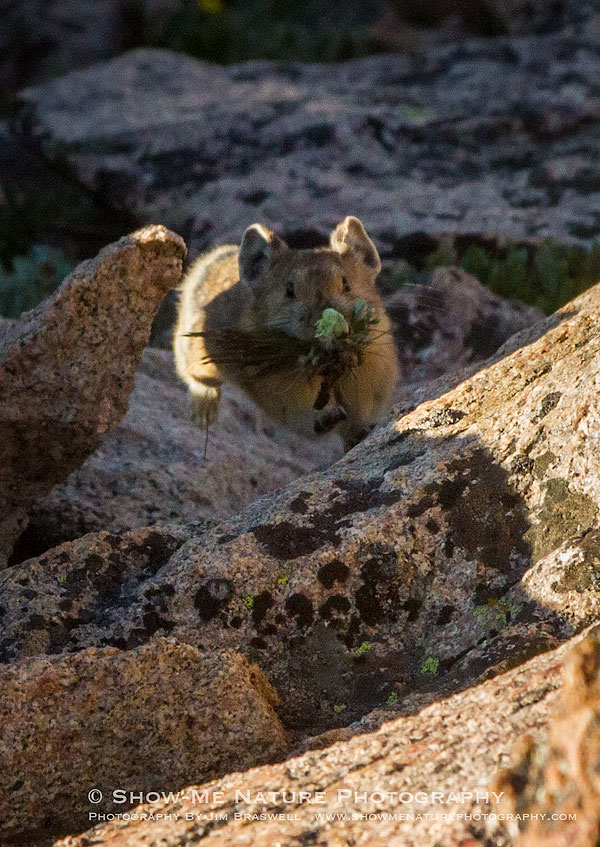 Pika running back to den with wildflowers in his mouth