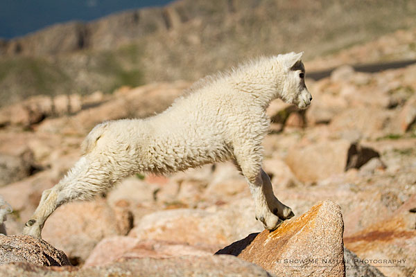 Mountain Goat kid stretching on the rocks of Mount Evans, Colorado