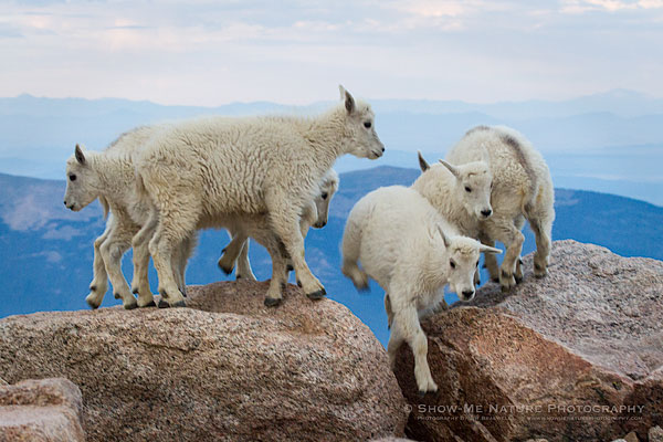 Mountain Goat kids at play