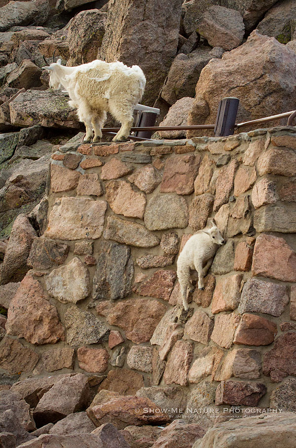 Mountain Goat kid trying to scale a near-vertical wall of some old ruins