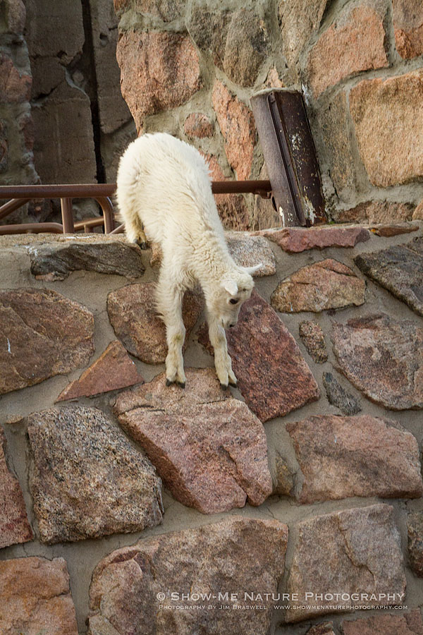 Mountain Goat kid working at descending a near-vertical wall of some old ruins