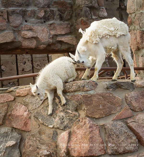 "Mountain Goat yearling, ""helping"" a kid down from the vertical wall"