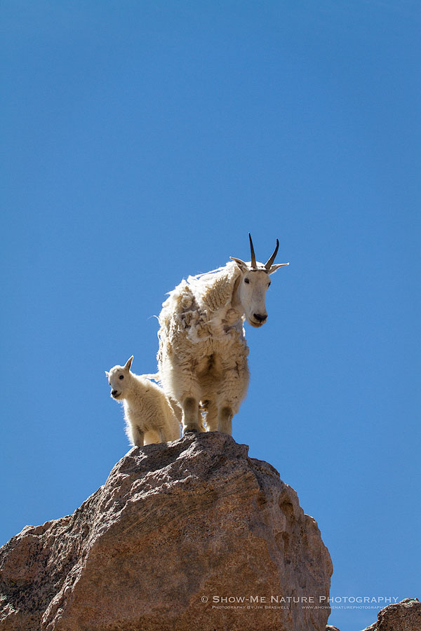 Mountain Goat mom with kid
