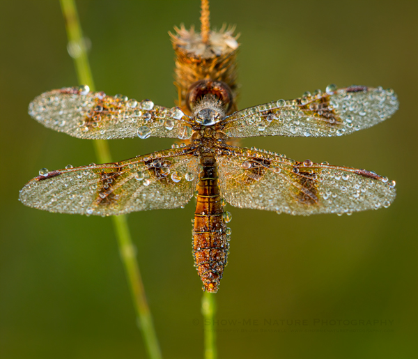 Dew-covered Dragonfly